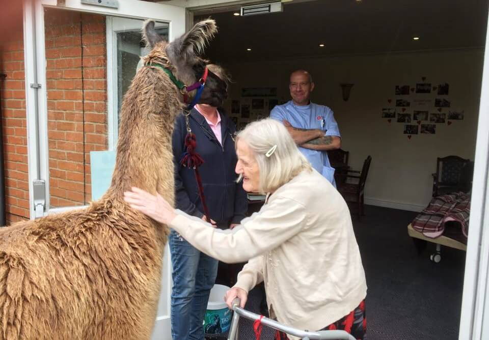 Pharaoh the llama and resident