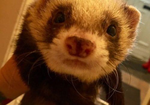 on the run - bobby the friendly ferret