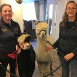 alpacas Oakdale